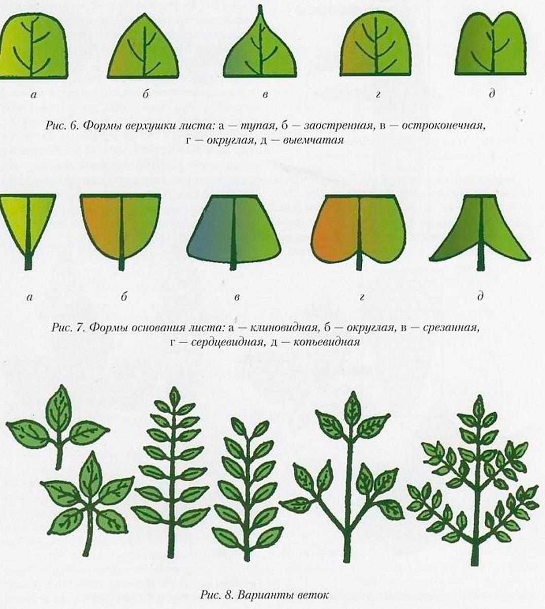 Схема окрашенного листа