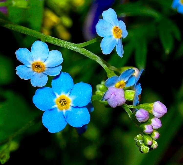 Незабудки цветы фото