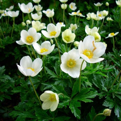Цветок анемоны