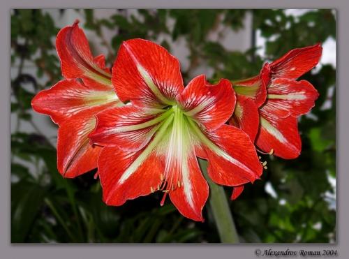 Живой цветок амариллис