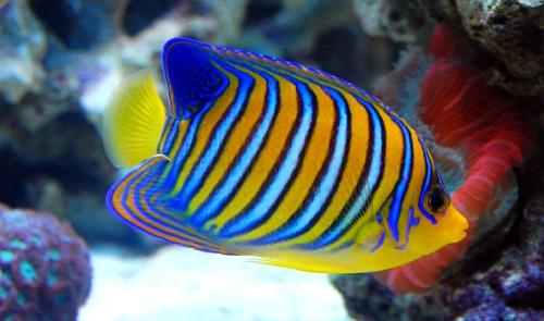 рыбка из бисера схема, схема брелка из бисера, брелок рыбка своими руками