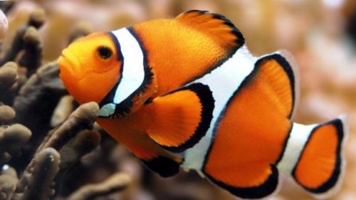 рыбка-клоун, мастер-класс, брелок рыбка кирпичным плетение, рыбка из бисера